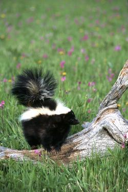 Striped Skunk in Field of Flowers, Montana by Richard and Susan Day