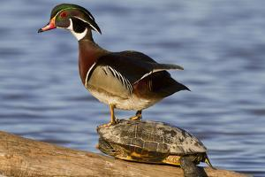 Wood Duck Standing on Red-Eared Slide on Log in Wetland, Marion Co. IL by Richard and Susan Day