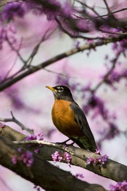 American Robin in Eastern Redbud Tree. Marion, Illinois, Usa by Richard ans Susan Day