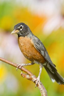 American Robin Perched in Flower Garden, Marion, Illinois, Usa by Richard ans Susan Day
