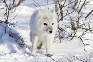 Arctic Fox in Snow, Churchill Wildlife Area, Churchill, Mb Canada by Richard ans Susan Day