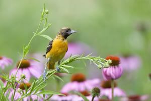Baltimore Oriole Female in Flower Garden, Marion, Illinois, Usa by Richard ans Susan Day