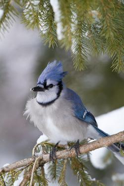 Blue Jay in Spruce Tree in Winter, Marion, Illinois, Usa by Richard ans Susan Day