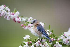 Eastern Bluebird Female in Crabapple Tree, Marion, Illinois, Usa by Richard ans Susan Day