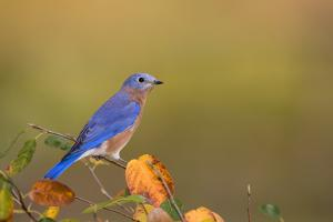 Eastern Bluebird in Serviceberry Bush in Fall, Marion, Illinois, Usa by Richard ans Susan Day