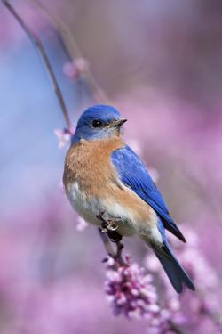 Eastern Bluebird Male in Eastern Redbud, Marion, Illinois, Usa by Richard ans Susan Day