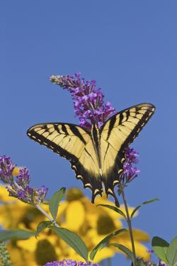 Eastern Tiger Swallowtail Butterfly on Butterfly Bush, Marion Co., Il by Richard ans Susan Day