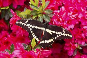 Giant Swallowtail on Azalea Bush, Marion Co. Il by Richard ans Susan Day
