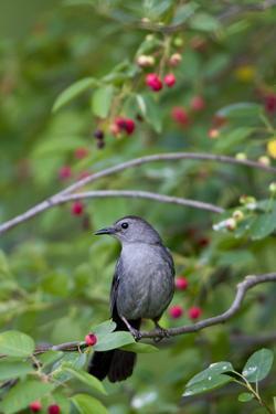 Gray Catbird in Serviceberry Bush, Marion, Illinois, Usa by Richard ans Susan Day