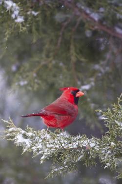 Northern Cardinal in Keteleeri Juniper Tree, Marion, Illinois, Usa by Richard ans Susan Day