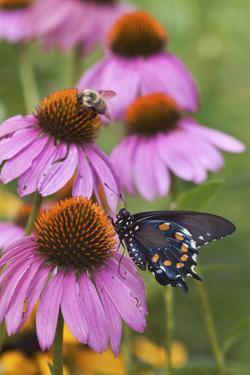 Pipevine Swallowtail on Purple Coneflower, Marion, Illinois, Usa by Richard ans Susan Day