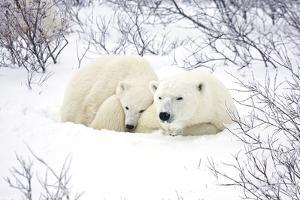 Polar Bears, Female and Cub, Churchill Wildlife Area, Manitoba, Canada by Richard ans Susan Day
