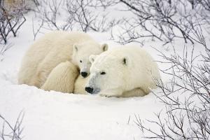 Polar Bears, Female and Cub, Churchill Wildlife Management Area, Mb by Richard ans Susan Day
