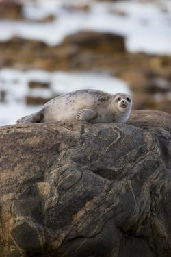 Ringed Seal on Rock in Hudson Bay, Churchill, Manitoba, Canada by Richard ans Susan Day