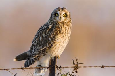 Short-Eared Owl on Fence Post Prairie Ridge Sna, Marion, Illinois, Usa by Richard ans Susan Day