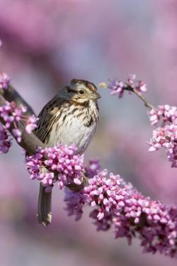Song Sparrow in Redbud Tree, Marion, Illinois, Usa by Richard ans Susan Day