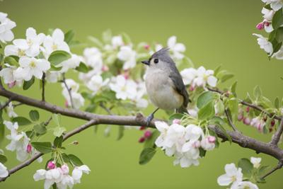 Tufted Titmouse in Crabapple Tree in Spring. Marion, Illinois, Usa by Richard ans Susan Day