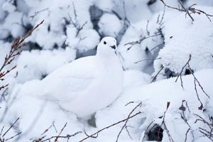 Willow Ptarmigan, Churchill Wildlife Area, Churchill, Manitoba, Canada by Richard ans Susan Day
