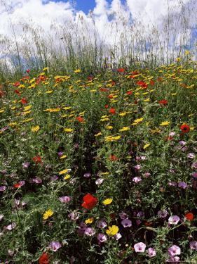 April Spring Flowers, Near Aidone, Central Area, Island of Sicily, Italy, Mediterranean by Richard Ashworth