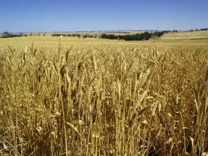 Vast Fields of Ripening Wheat, Near Northam, West Australia, Australia, Pacific by Richard Ashworth