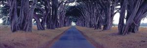 Monterey Cypress Trees, Point Reyes, California by Richard Berenholtz