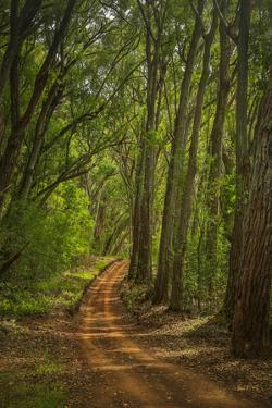 Molokai Forest Reserve Road Through Eucalyptus Forest by Richard Cooke III