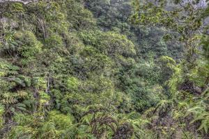 Ohia Forest Canopy at Kamakou Preserve, of Nature Conservancy, Molokai, Hawaii by Richard Cooke III