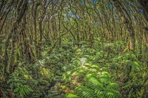 Pepeopae Bog Boardwalk Trail, with Native Ohia Habitat, in Kamakou Preserve, Molokai, Hawaii by Richard Cooke III