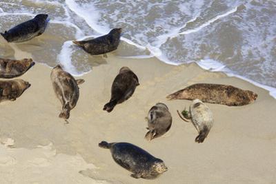 Harbor seals, La Jolla, San Diego, California, United States of America, North America by Richard Cummins
