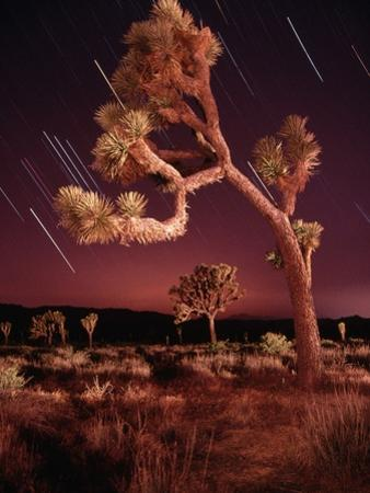 Meteor Trails and Joshua Trees by Richard Cummins