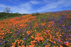 Poppy flowers, Malibu Creek State Park, Los Angeles, California, United States of America, North Am by Richard Cummins