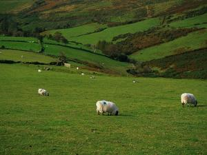 Sheep and Stone Walls in Green Pastures by Richard Cummins