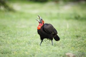 A Ground Hornbill Eats a Frog by Richard Du Toit