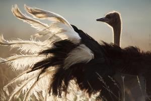 A Male Ostrich, South Africa by Richard Du Toit