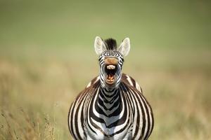 A Yawning Zebra by Richard Du Toit