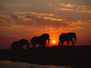 African Elephant Bulls Silhouetted at Sunset, Chobe National Park, Botswana by Richard Du Toit