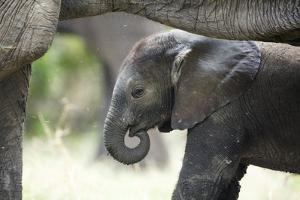 Baby Elephant by Richard Du Toit