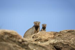 Banded Mongoose and Baby by Richard Du Toit