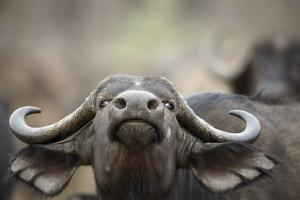 Buffalo Cow Nportrait by Richard Du Toit