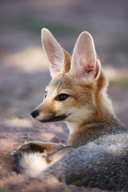 Cape Fox Portrait by Richard Du Toit