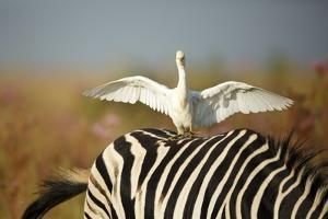 Cattle Egret on Zebra by Richard Du Toit