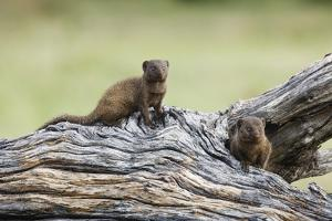 Dwarf Mongoose on Log, Botswana by Richard Du Toit