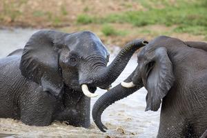 Elephant Bulls Play in Waterhole by Richard Du Toit