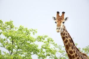 Giraffe, South Africa by Richard Du Toit