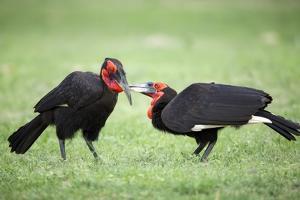 Ground Hornbills Allogrooming by Richard Du Toit