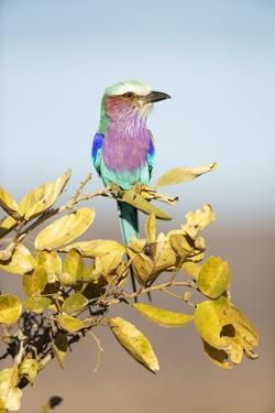 Lilac-Breasted Roller, South Africa by Richard Du Toit