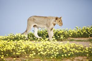 Lion Walking in Yellow Flowers. by Richard Du Toit