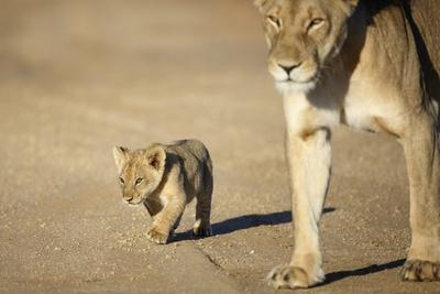 Lioness and Cub, Botswana