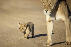 Lioness and Cub, Botswana by Richard Du Toit