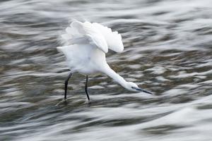 Little Egret, South Africa by Richard Du Toit